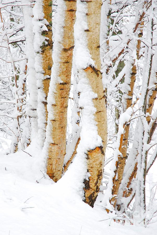 Silver Birch Photograph - Snow Covered Birch Trees by John Kelly