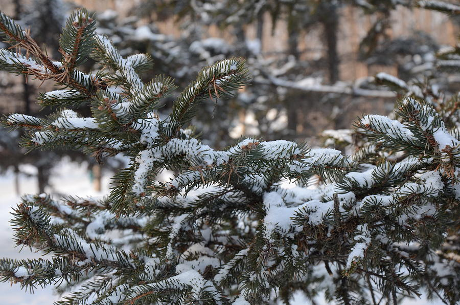 Pine Needles Photograph - Snow Covered Branches by Brett Geyer