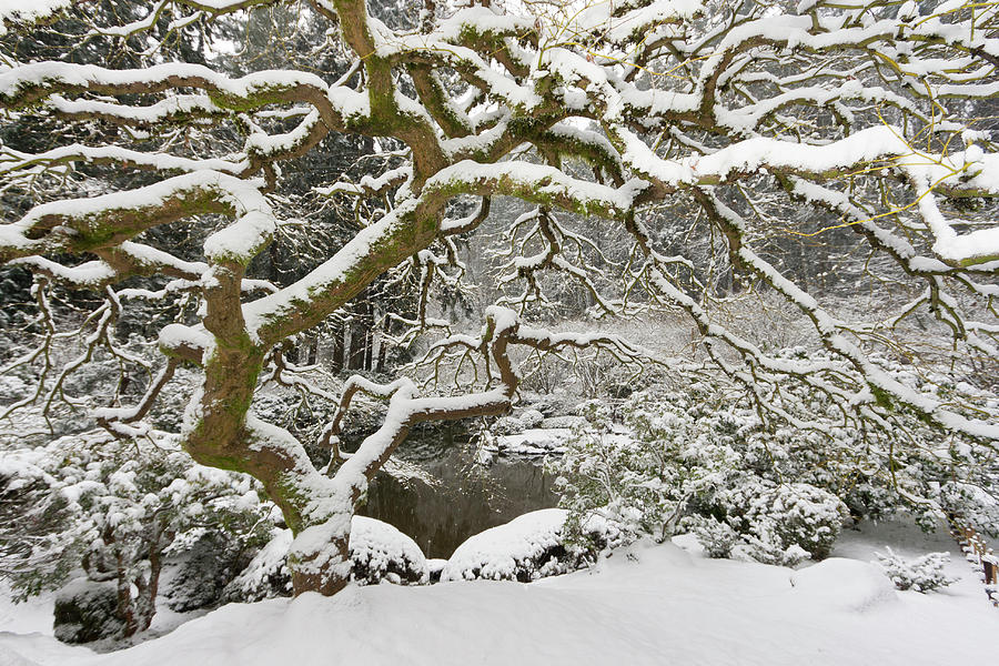 Snow Covered Japanese Maple Portland Photograph By William Sutton