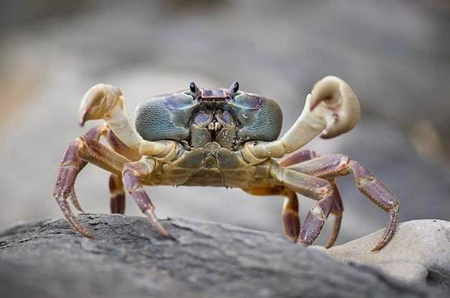 Crab Photograph - Snow Crab by Gary Rathjen
