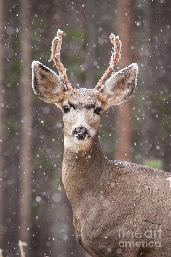 Snow Deer 1 by John Wadleigh