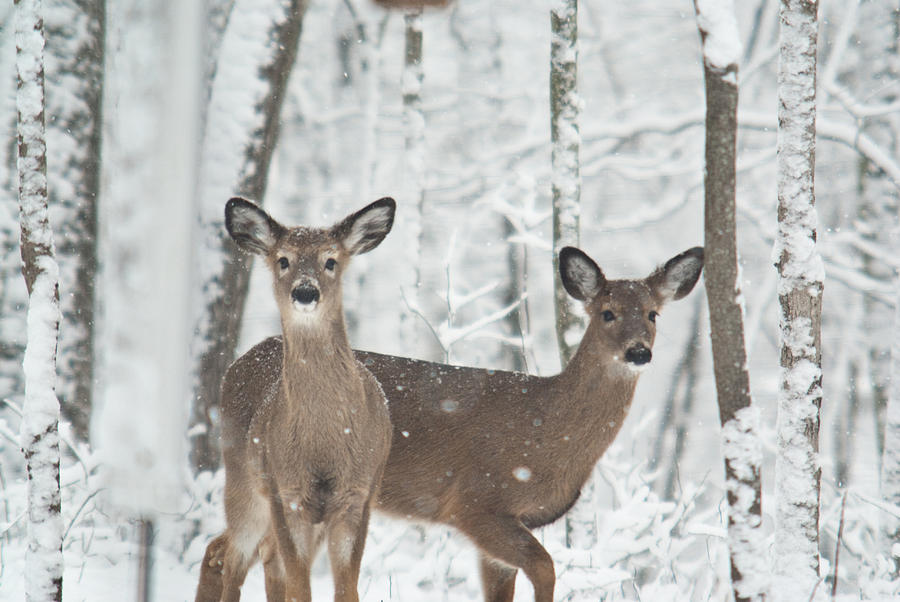 Image result for deer in snow