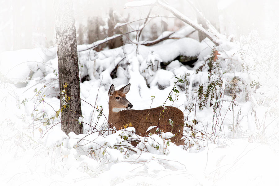 Deer Photograph - Snow Doe by Karol Livote