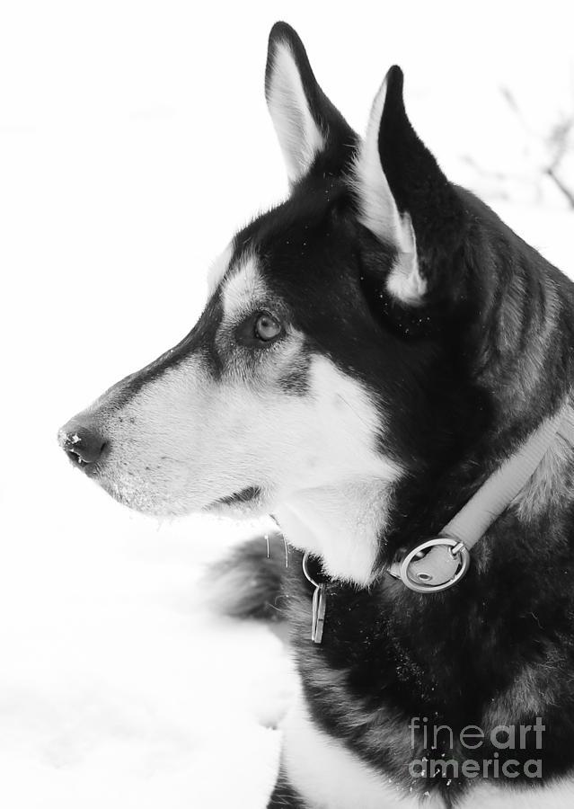 Snow Dog Photograph