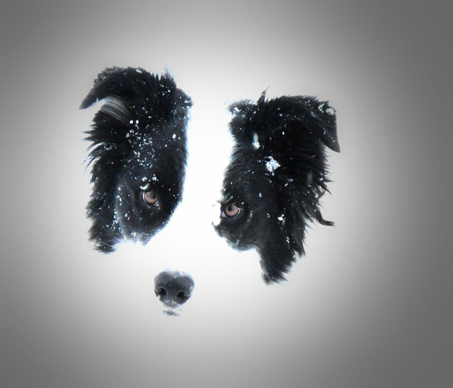 Border Collie Digital Art - Snow Face by Aliceann Carlton
