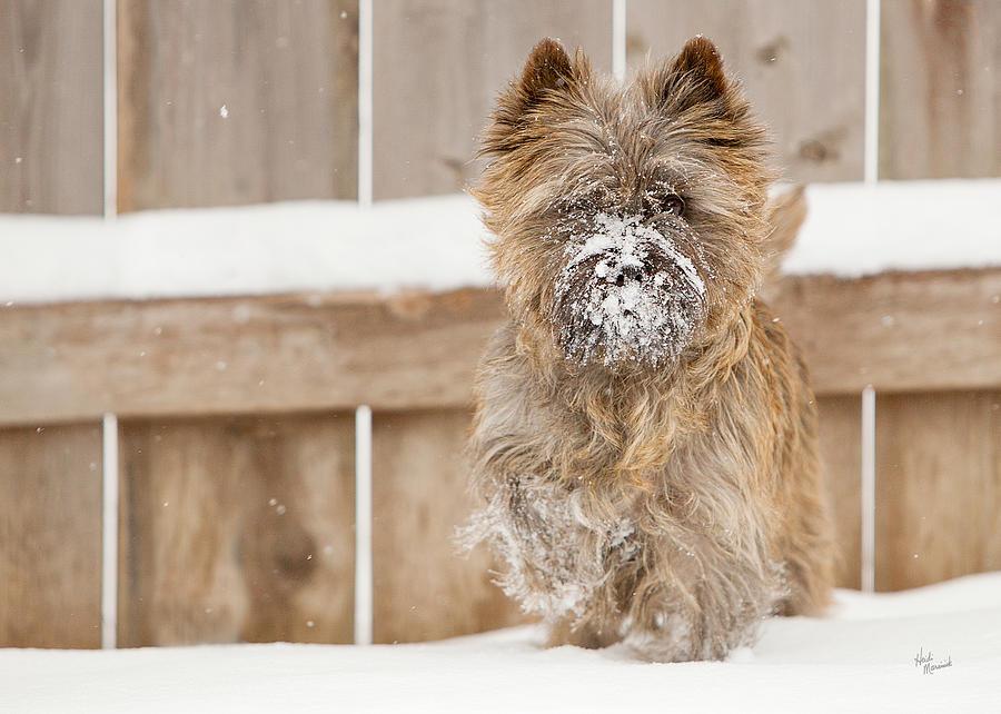 Cairn Terrier Photograph - Snow Face by Heidi Marcinik