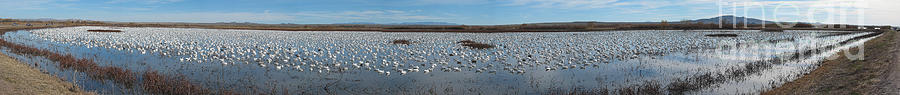 Panorama Photograph - Snow Geese Bosque by Steven Ralser