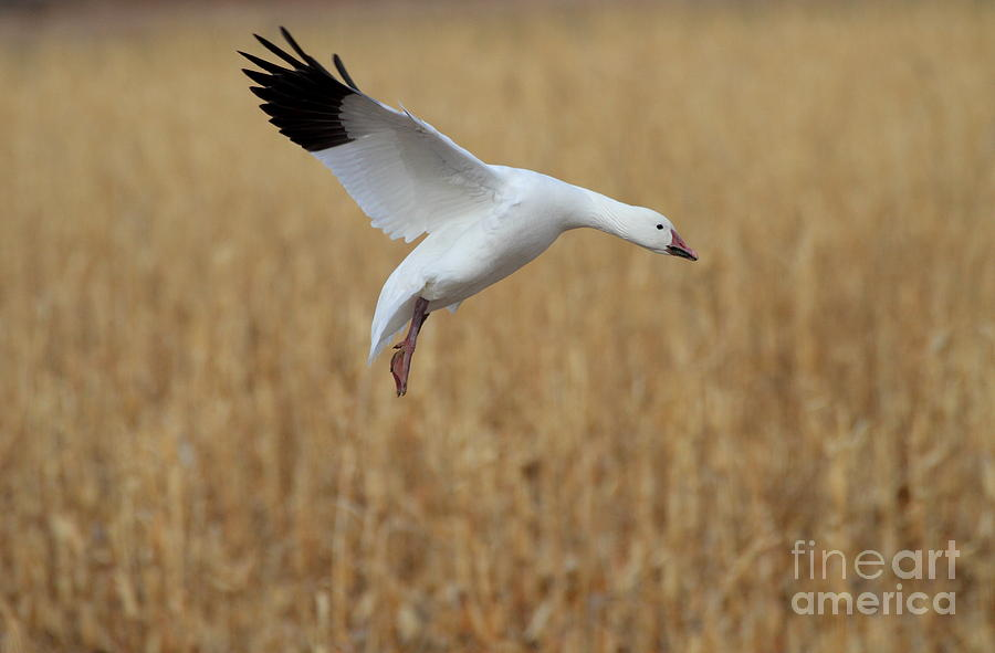 Snow Goose Photograph - Snow Goose Landing by Ruth Jolly