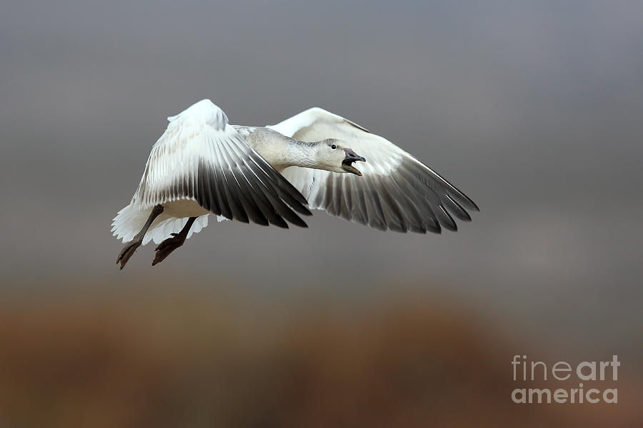 Snow Goose Squawking Photograph