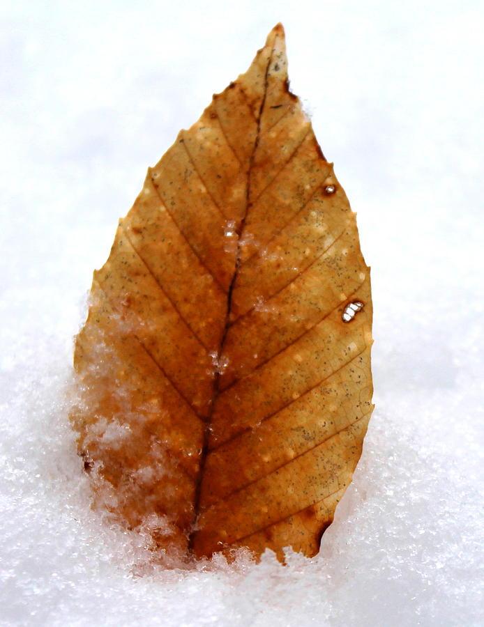 Snow Photograph - Snow Leaf by Candice Trimble