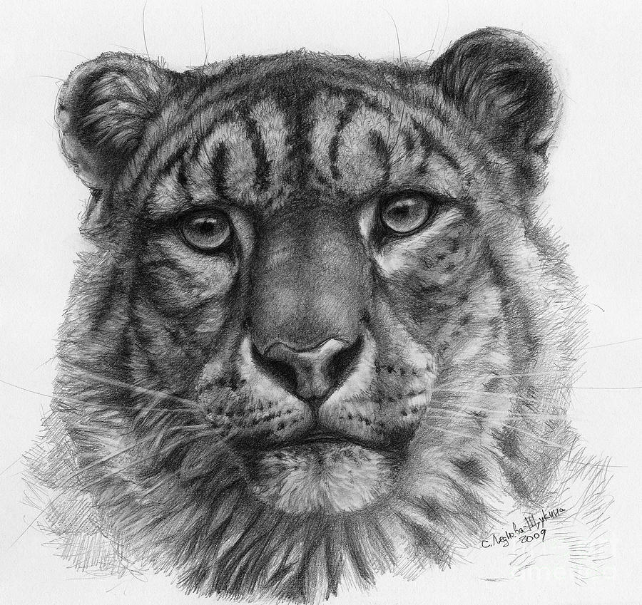 Snow Leopard Drawing - Snow Leopard - Panthera Uncia Portrait by Svetlana Ledneva-Schukina
