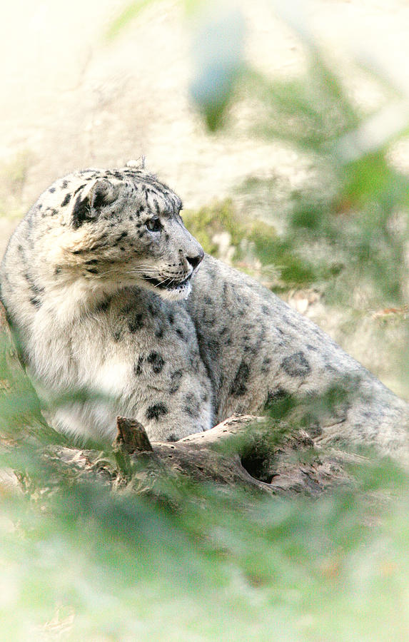 Snow Leopard Photograph - Snow Leopard Pose by Karol Livote