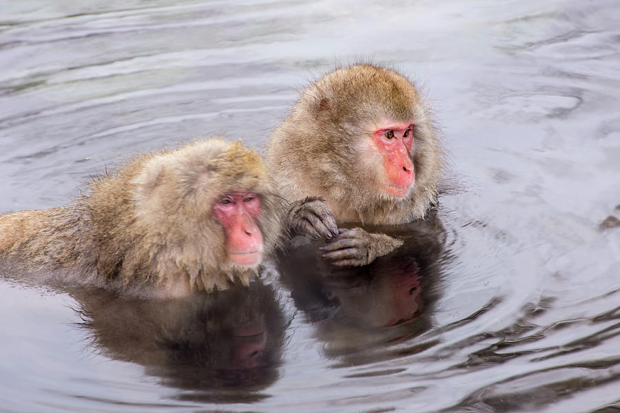Snow Monkey Photograph by I Love Photo And Apple.