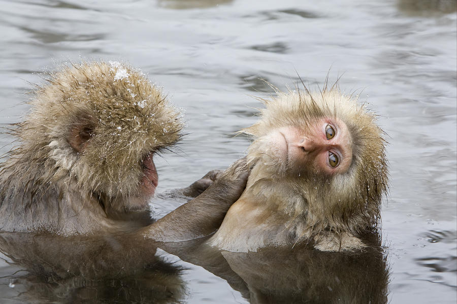 Snow Monkeys Grooming  Photograph by Dickie Duckett