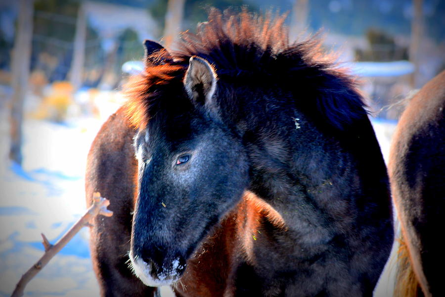 Wild Horses Photograph - Snow Nose  by Jeanne  Bencich-Nations