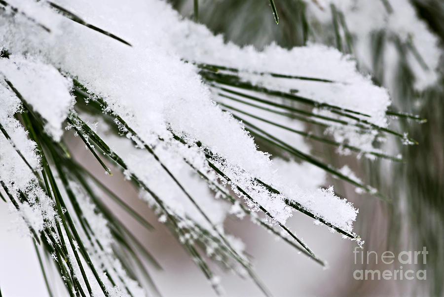 Winter Photograph - Snow On Pine Needles by Elena Elisseeva