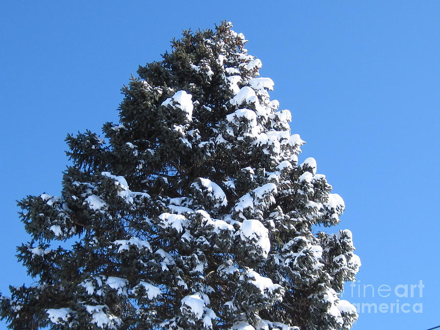 Snow Photograph - Snow On The Pine by Donna Cavender
