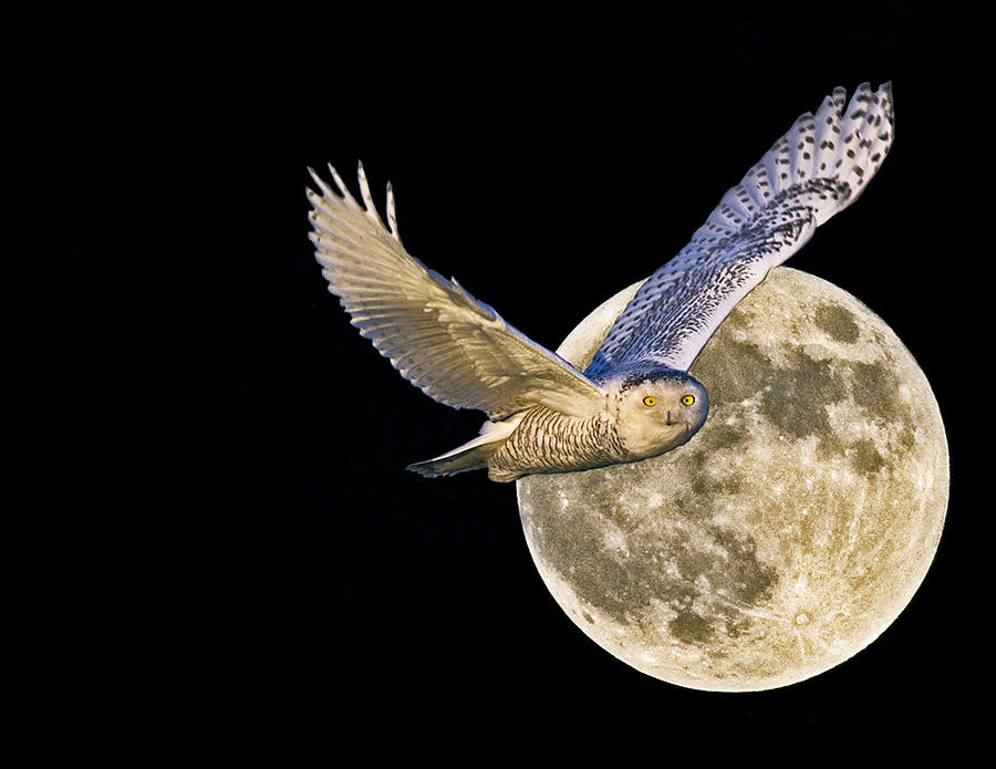 Snow Owl And Full Moon Photograph by Rob Mclean