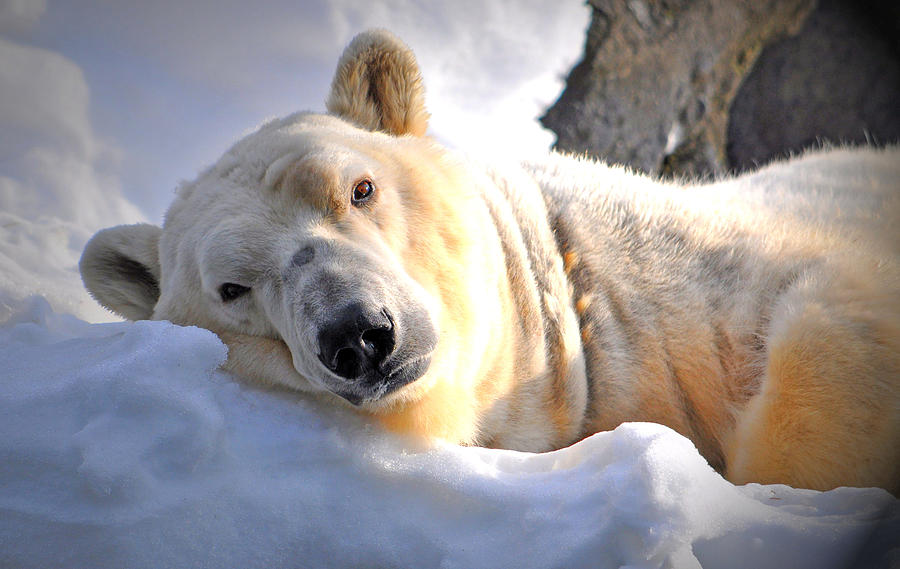 Polar Bear Photograph - Snow Relaxation by Emily Stauring