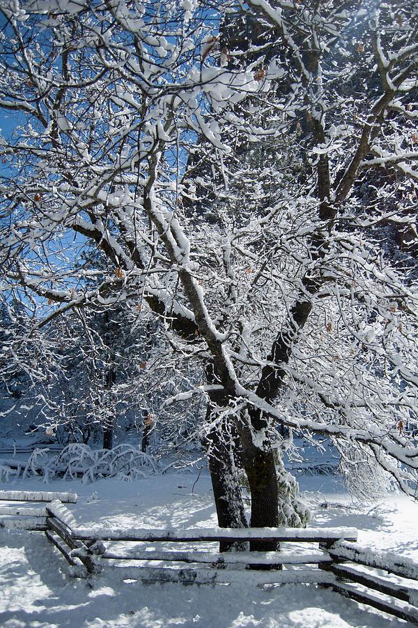California Digital Art - Snow Tree - Yosemite National Park by Jim Pavelle