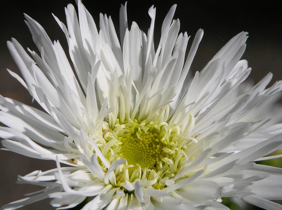 Flower Photograph - Snow White by Lucy Howard