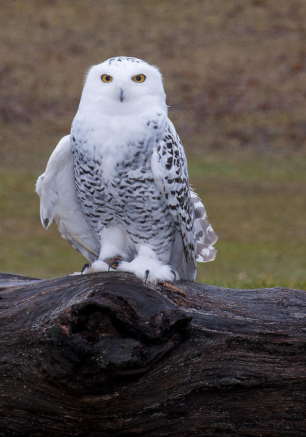 Snowy Owl Photograph - Snow White by Paul Cannon