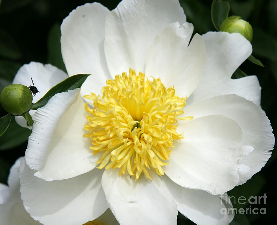 Peony Photograph - Snow White Peony by Christiane Schulze Art And Photography