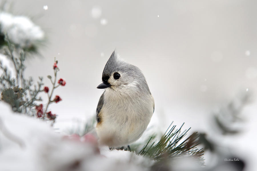 Bird Photograph - Snow White Tufted Titmouse by Christina Rollo