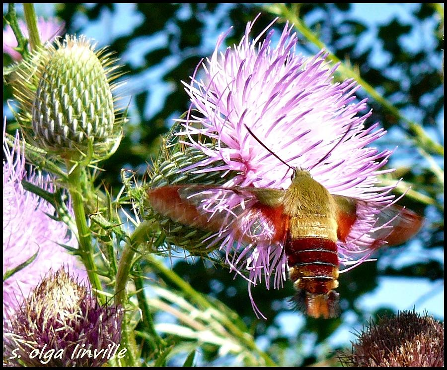 Nature Photograph - Snowberry Clearwing Moth by Susan Olga Linville