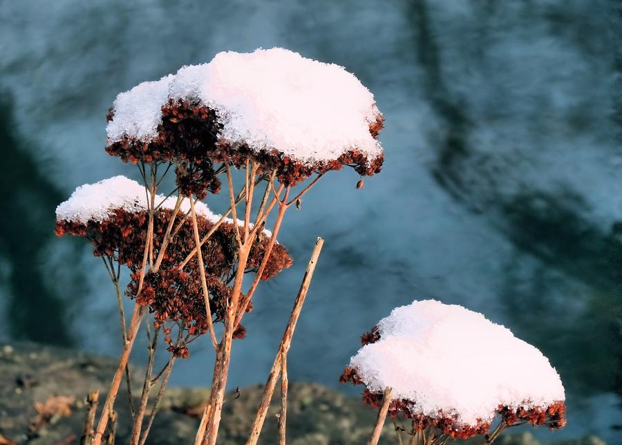Flowers Photograph - Snowcapped by Janice Drew