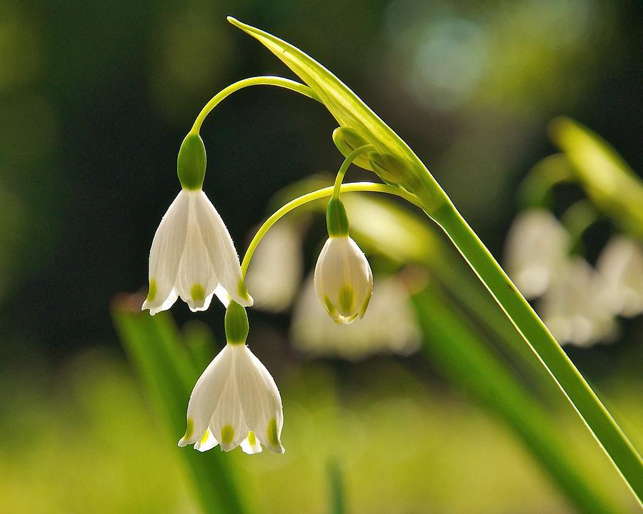 Snowdrop Flower Photograph By Keith Nicodemus