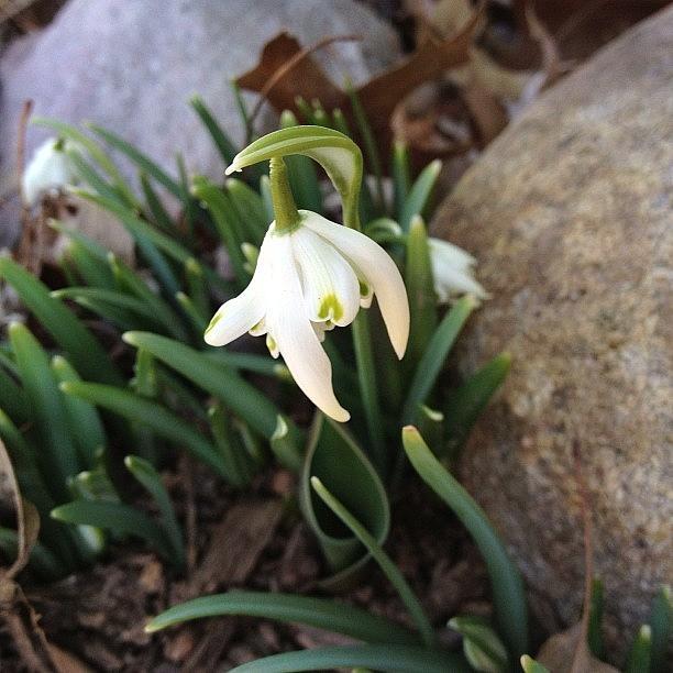 Beautiful Photograph - #snowdrop #flower #spring #springisnear by Teresa Mucha