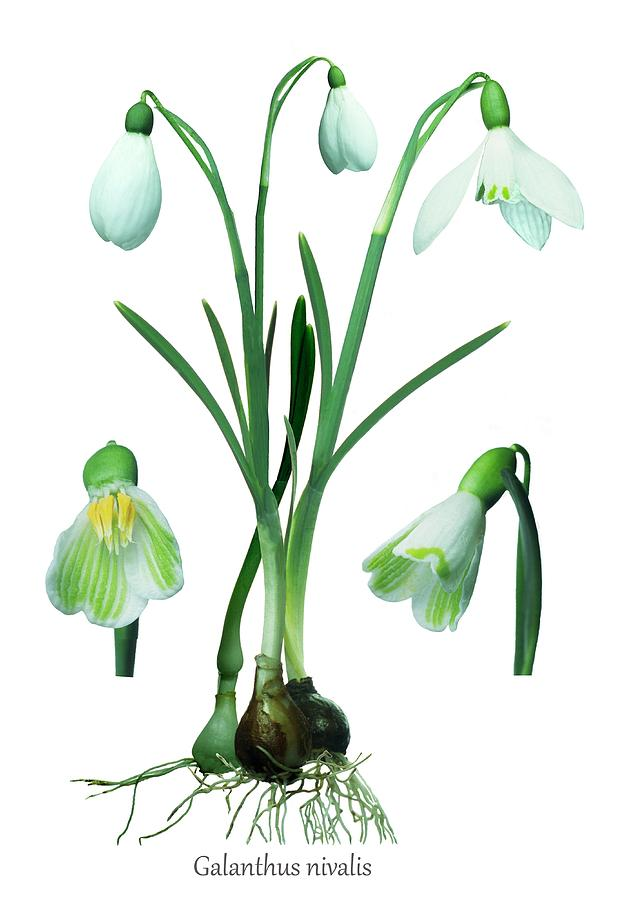 Snowdrop Photograph - Snowdrops (galanthus Nivalis) by Archie Young/science Photo Library