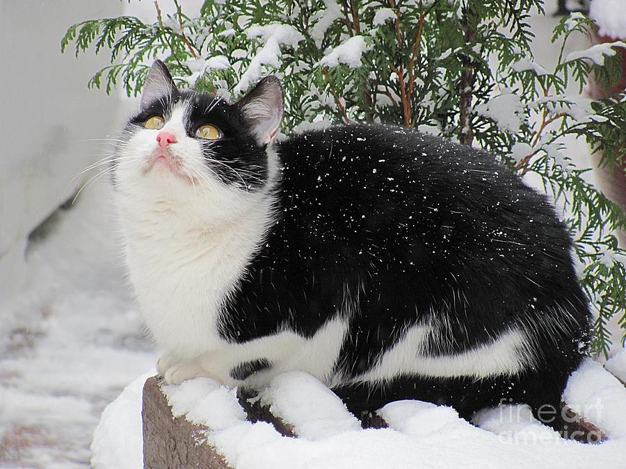 Cat Photograph - Snowed In by Halyna  Yarova