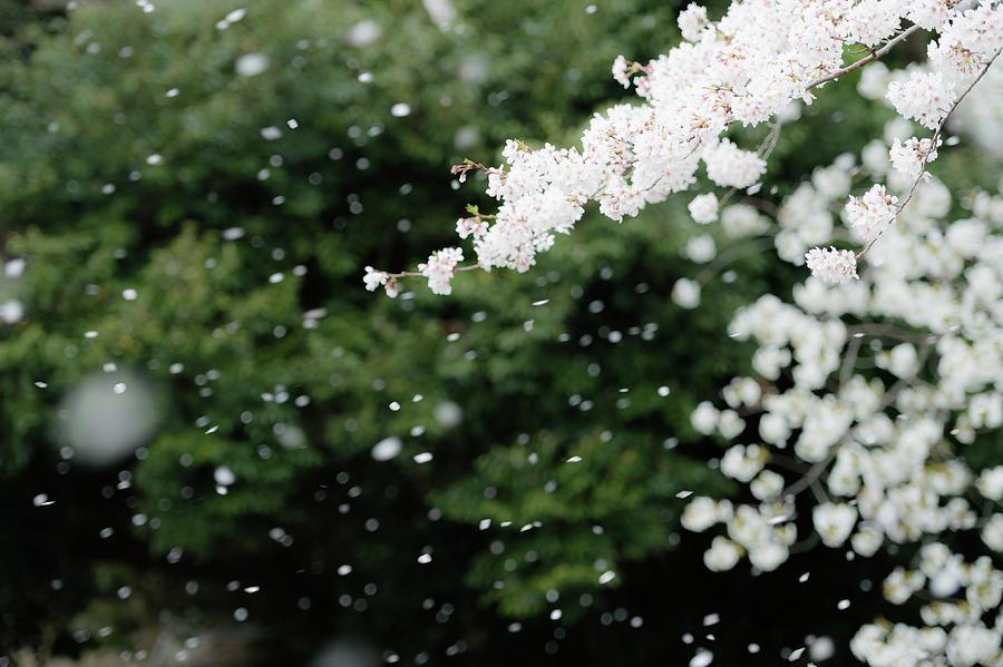 Snowflake Like Cherry Blossoms Photograph by Yuji Takahashi