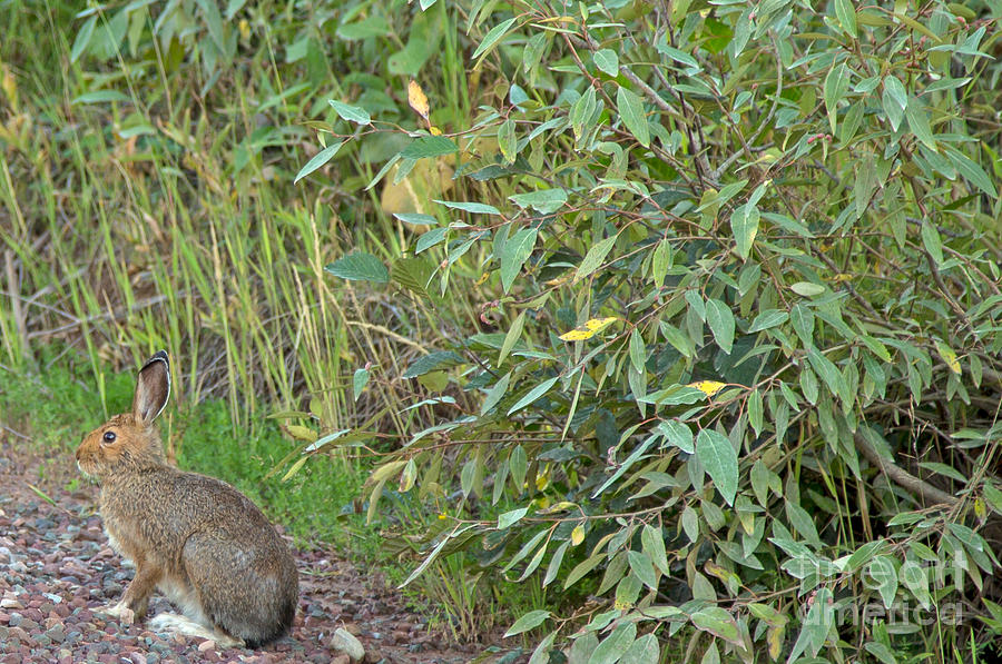 Rabbit Photograph - Snowshoe Hare In Montana by Natural Focal Point Photography
