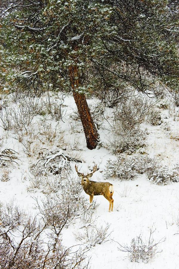 Snowstorm Buck Photograph
