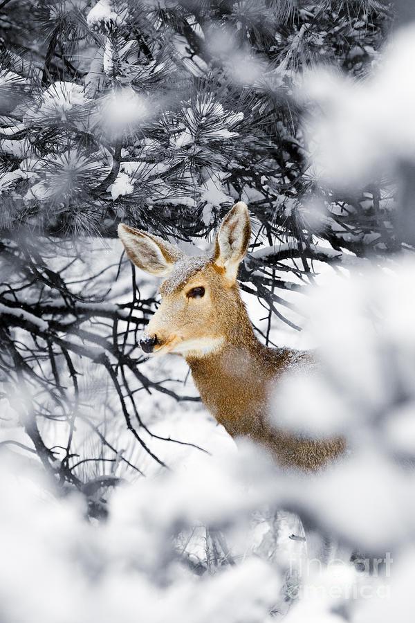 Snowstorm Doe Photograph