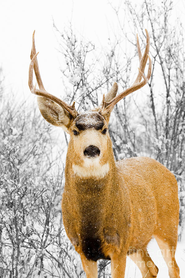 Snowstorm Stag Photograph