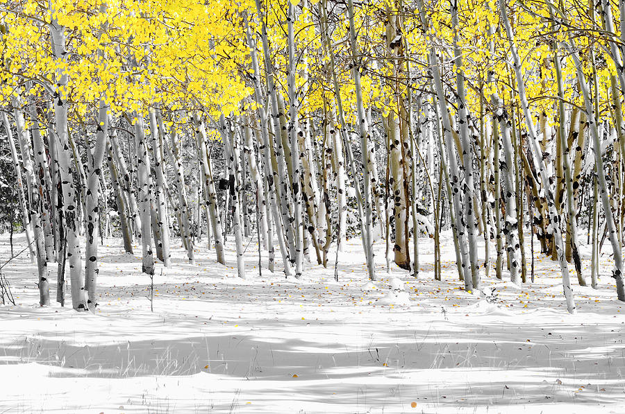 Aspen Trees Photograph - Snowy Aspen Landscape by The Forests Edge Photography - Diane Sandoval
