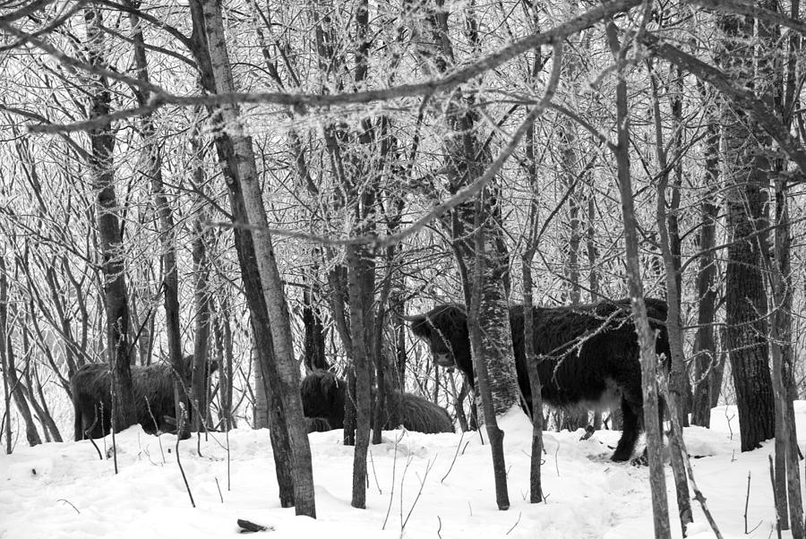 Cows Photograph - Snowy Day by Jessica Wakefield