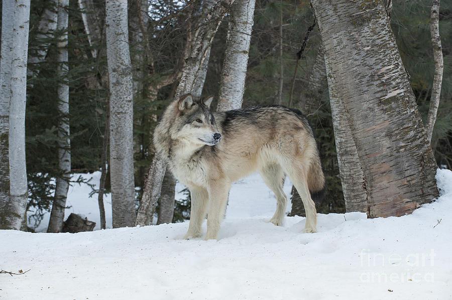 Wolf Photograph - Snowy Day Trek by Sandra Bronstein