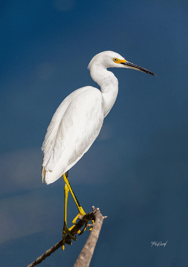 Water Photograph - Snowy Egret by Fred J Lord