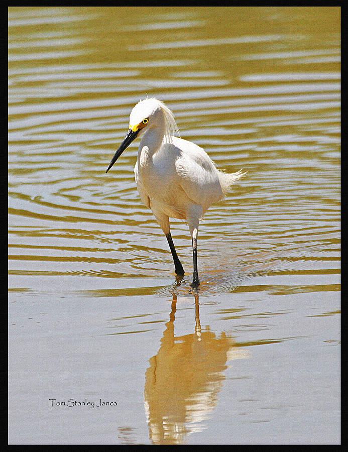 Grp Photograph - Snowy Egret Looking For Fish by Tom Janca