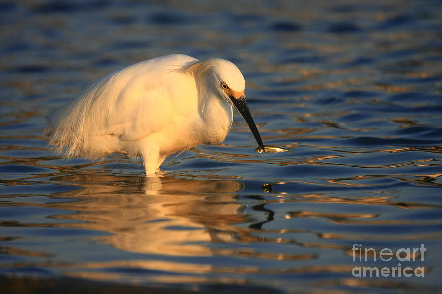 Snowy Egret Reflections Photograph