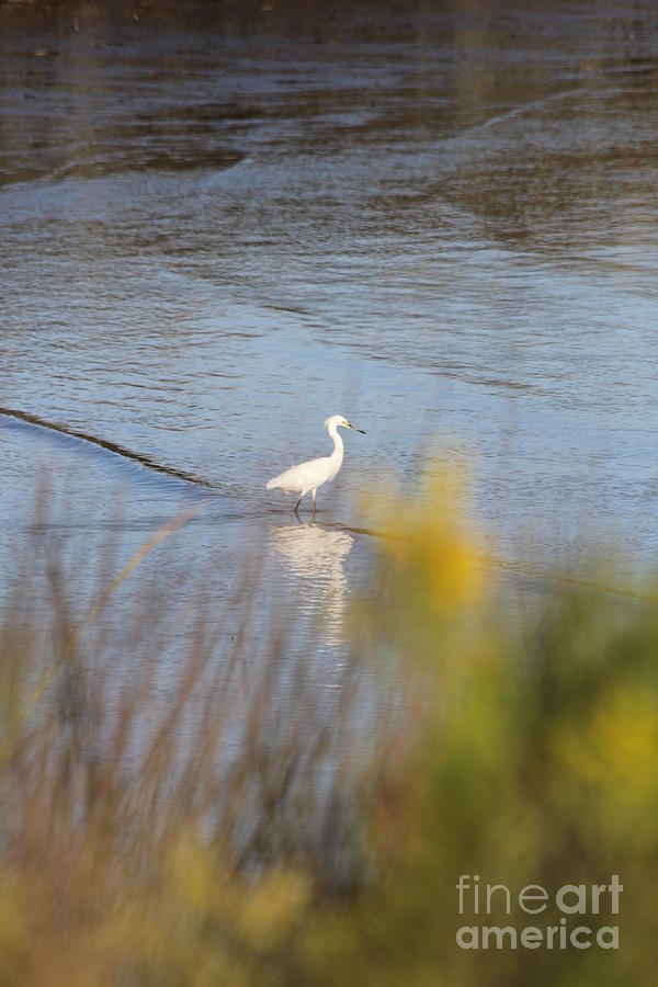 Snowy Egret by Richard Amble