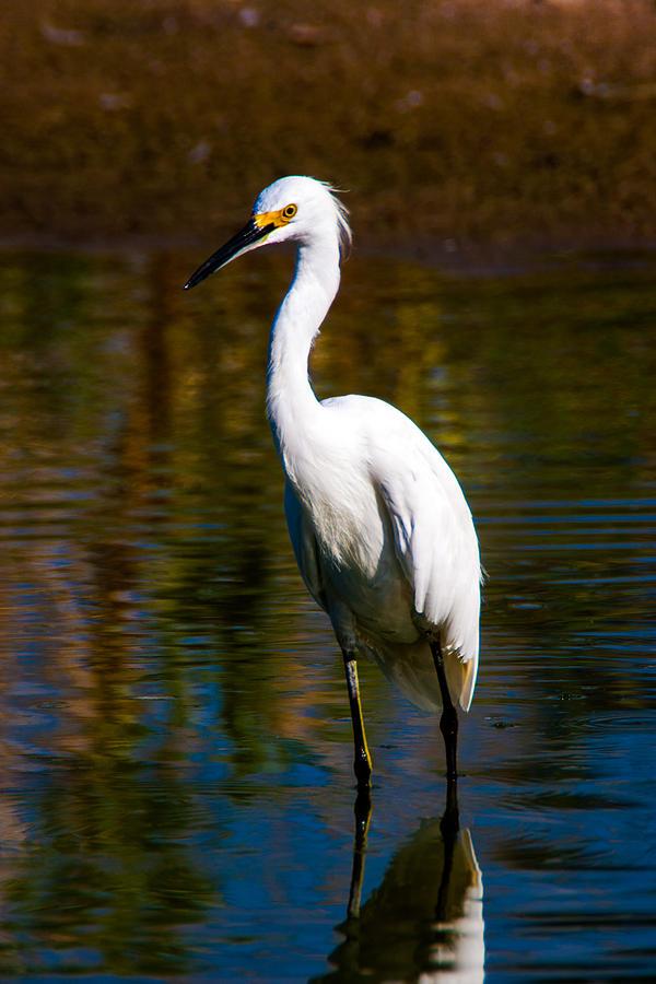Egret Photograph - Snowy Egret by Ronald Hunt