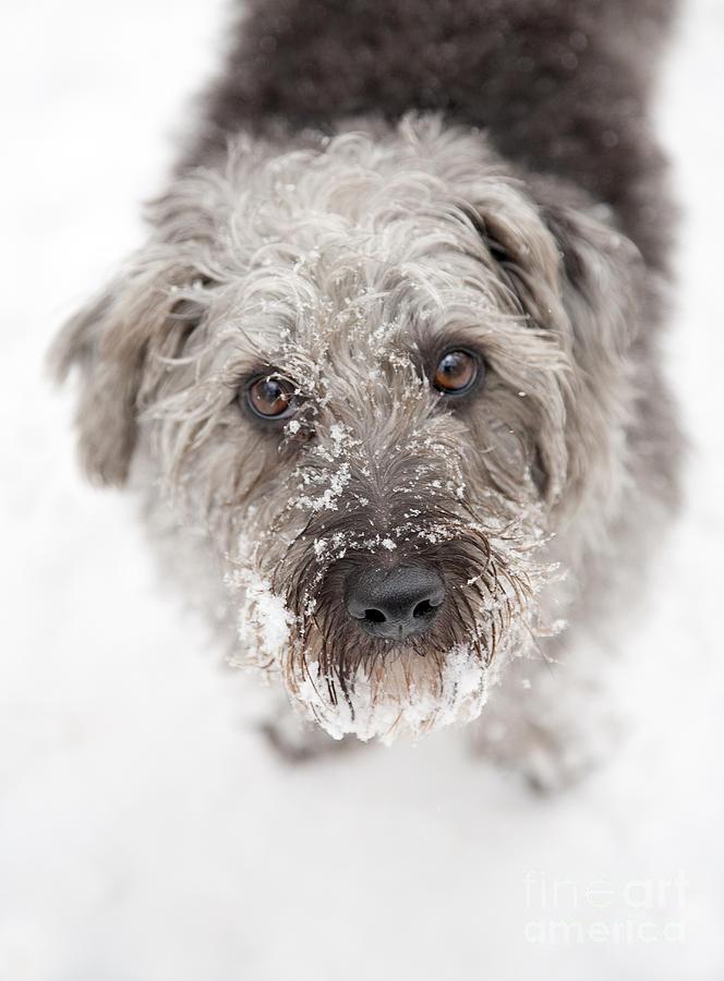 Pup Photograph - Snowy Faced Pup by Natalie Kinnear