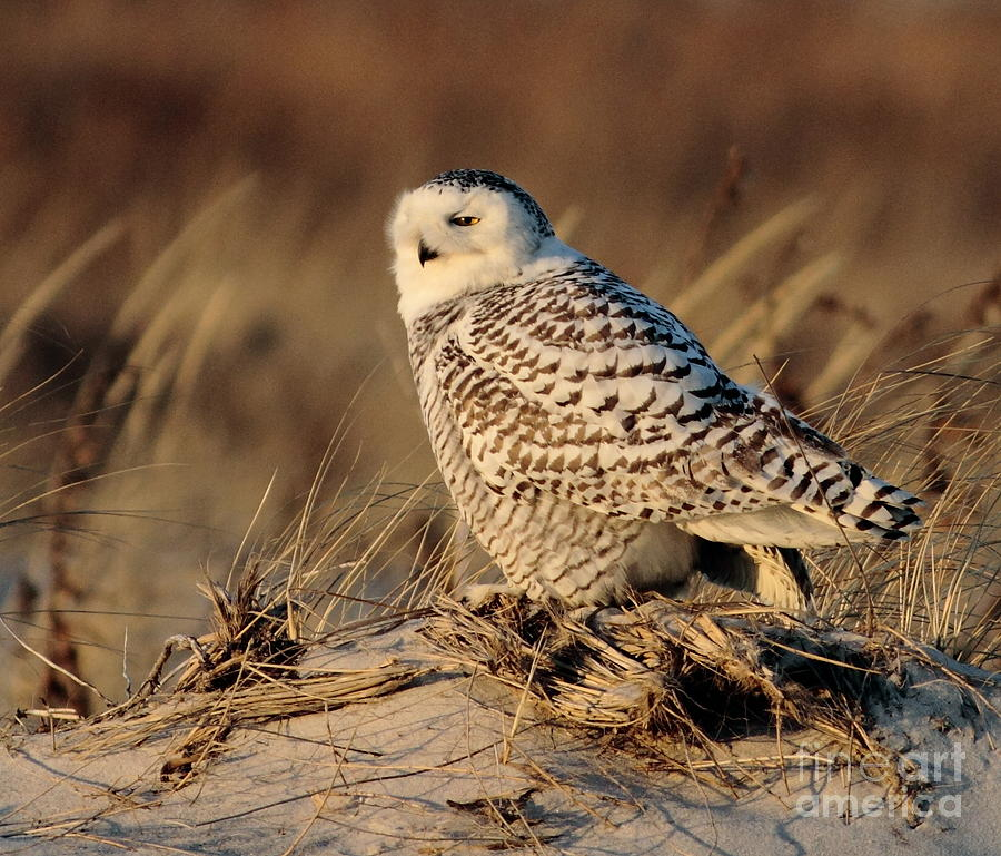 Snowy Owl Photograph - Snowy by Linda C Johnson