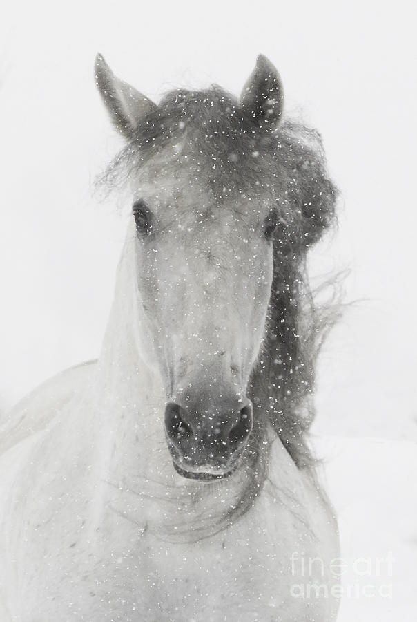 Andalusian Photograph - Snowy Mare by Carol Walker